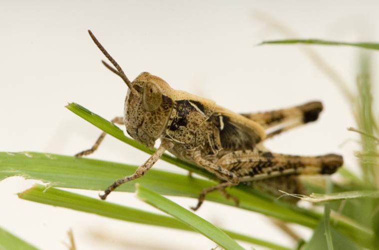 Australian plague locust Chortoicetes terminifera on grass