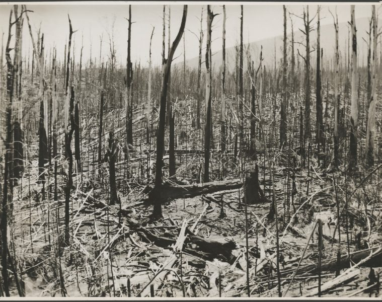 Forest remains after a bushfire, Icy Creek, Victoria, 1939.